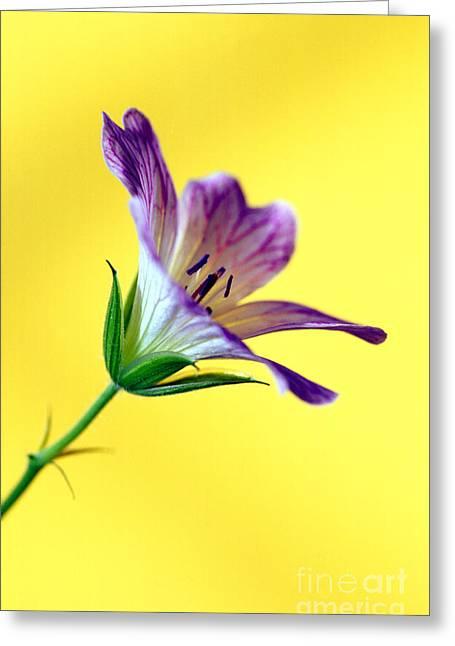 Geranium Greeting Card by Carl Perkins