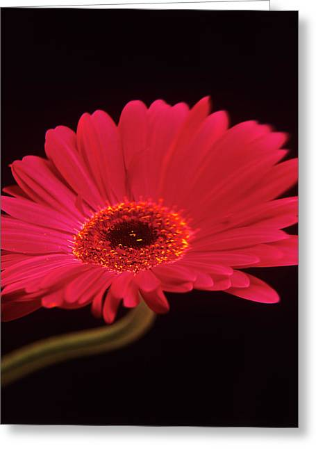 Gerbera Flower Greeting Card by Mark Thomas/science Photo Library