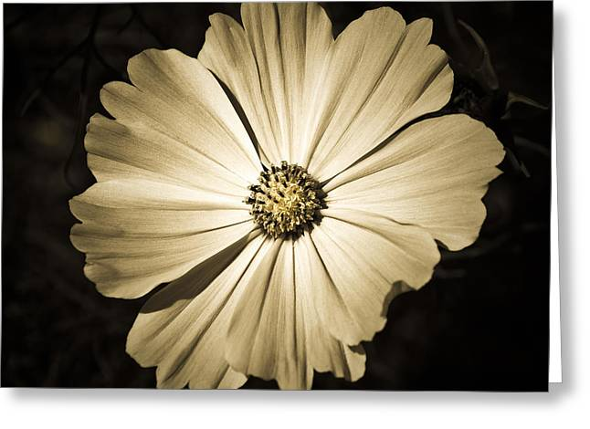 Gerbera In Sepia Greeting Card