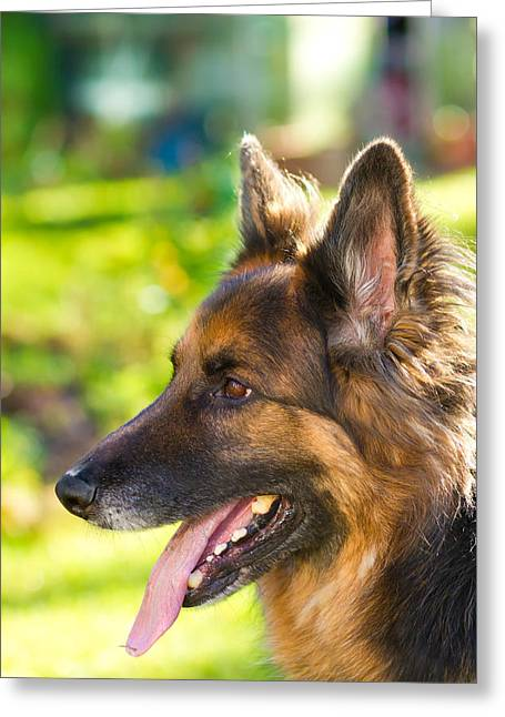 german Shepherd dog in the garden Greeting Card by Fizzy Image