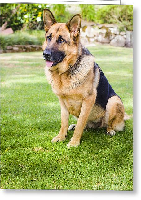German Shepherd Dog Learning Obedience Training Greeting Card by Jorgo Photography - Wall Art Gallery