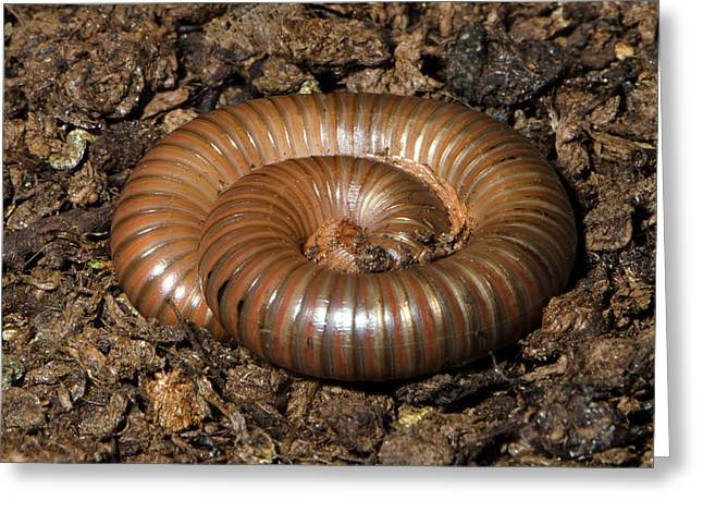 Giant African Millipede Greeting Card