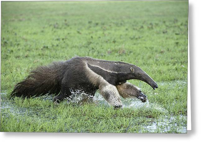 Giant Anteater Greeting Card by M. Watson