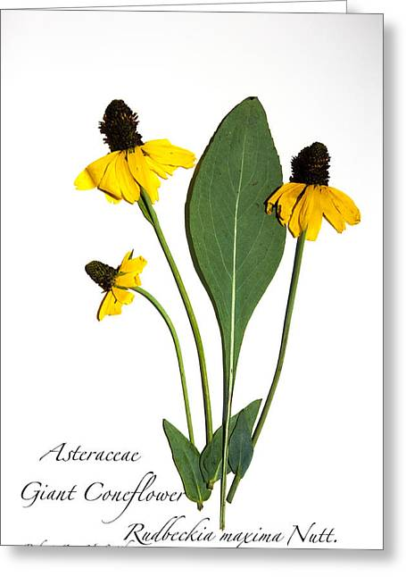 Giant Coneflower Greeting Card