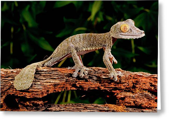Giant Leaf-tailed Gecko, Uroplatus Greeting Card by David Northcott