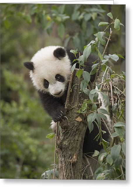 Giant Panda Cub Chengdu Sichuan China Greeting Card by Katherine Feng