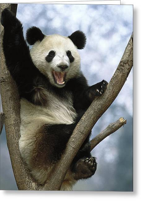 Giant Panda  Wolong Valley China Greeting Card by Pete Oxford