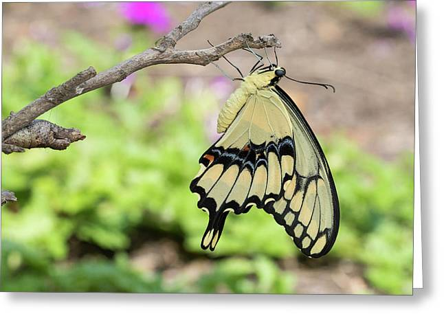 Giant Swallowtail Butterfly (papilio Greeting Card