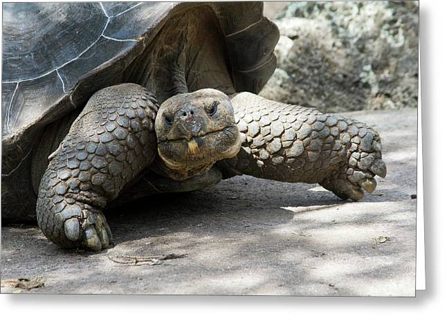 Giant Tortoise In Highlands Of Floreana Greeting Card by Diane Johnson