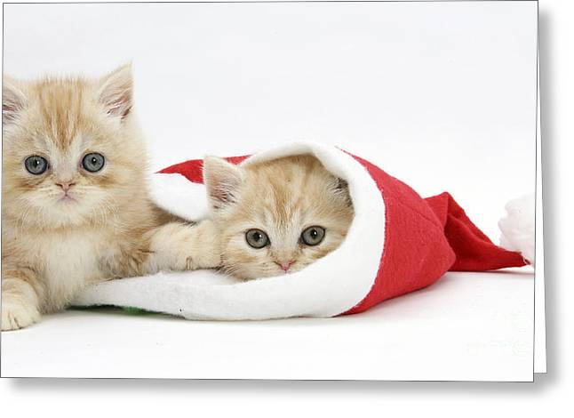Ginger Kittens In Christmas Hat Greeting Card by Mark Taylor