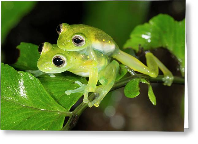 Glass Frogs Mating Greeting Card by Dr Morley Read