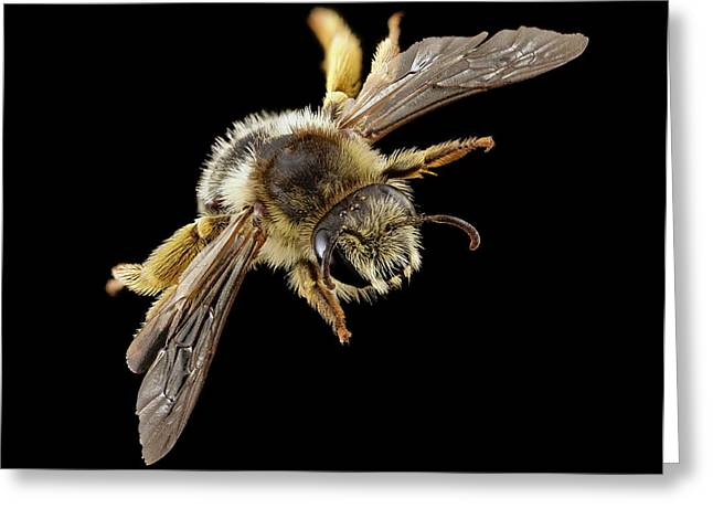 Gold-tailed Melitta Bee Greeting Card