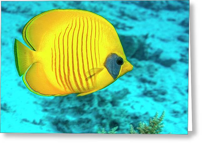 Golden Butterflyfish Over A Reef Greeting Card by Georgette Douwma