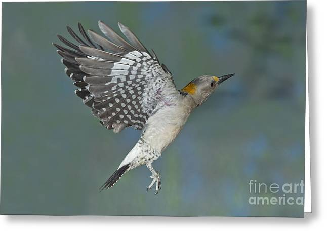 Golden-fronted Woodpecker Greeting Card by Anthony Mercieca