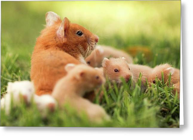 Golden Hamster With Young Greeting Card