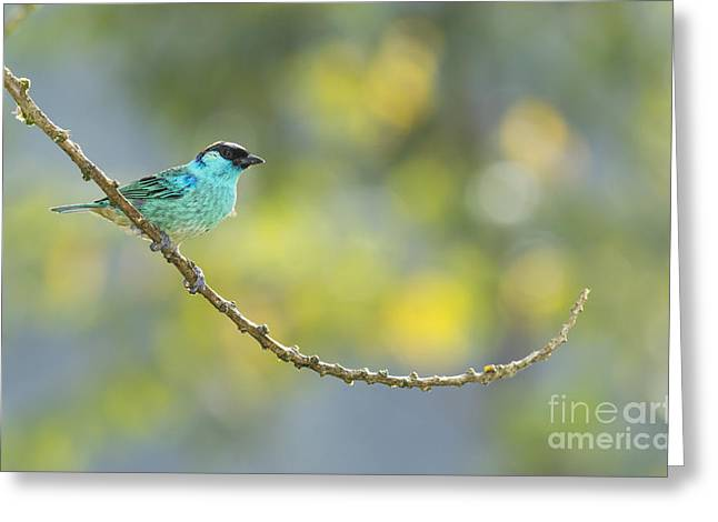 Golden-naped Tanager Greeting Card