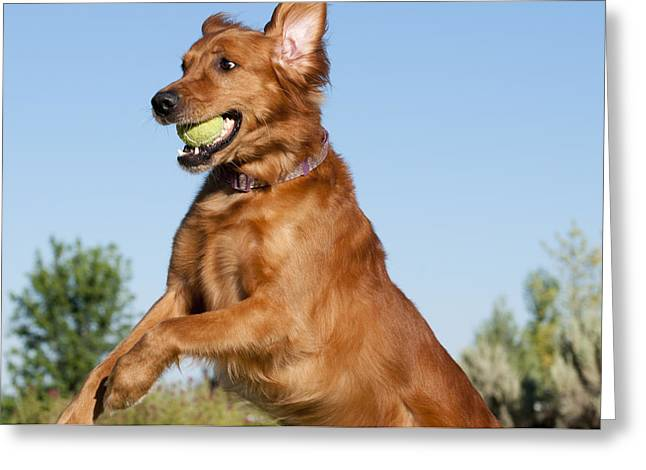 Golden Retriever Catching Tennis Ball Greeting Card