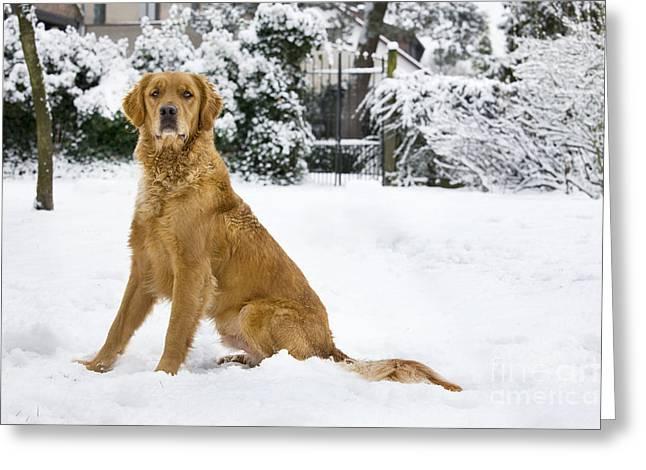 Golden Retriever In Snow Greeting Card