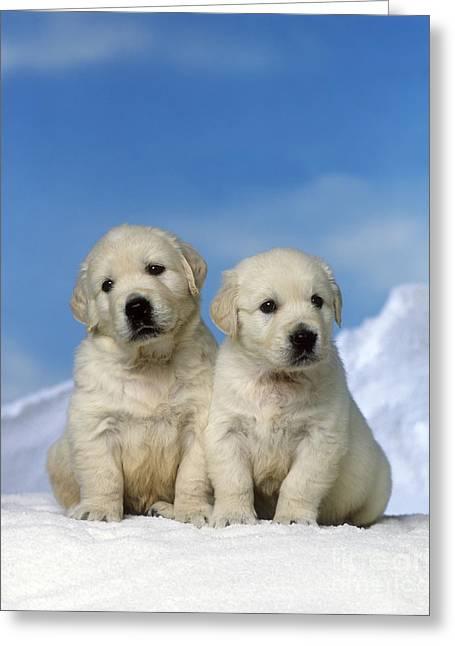 Golden Retriever Puppy Dogs Greeting Card