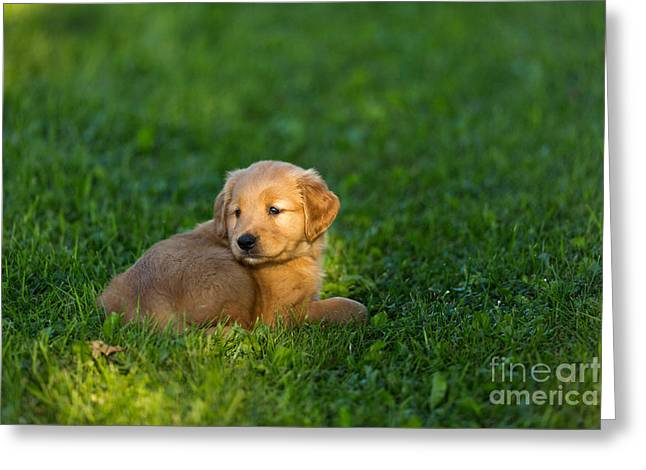 Golden Retriever Puppy Greeting Card by Linda Freshwaters Arndt