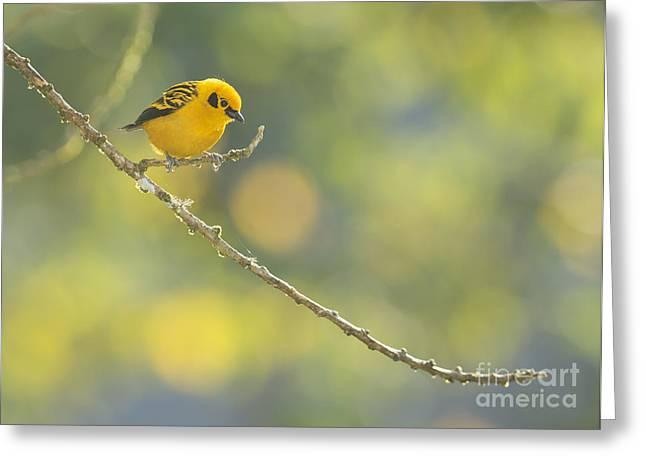 Golden Tanager Greeting Card