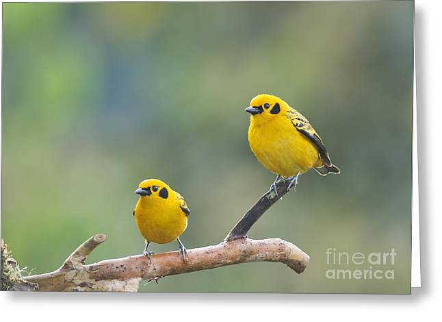 Golden Tanagers Greeting Card