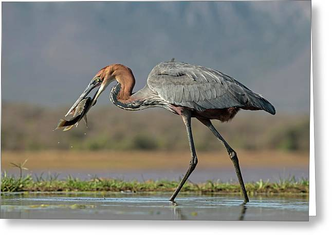 Goliath Heron With Fish Greeting Card