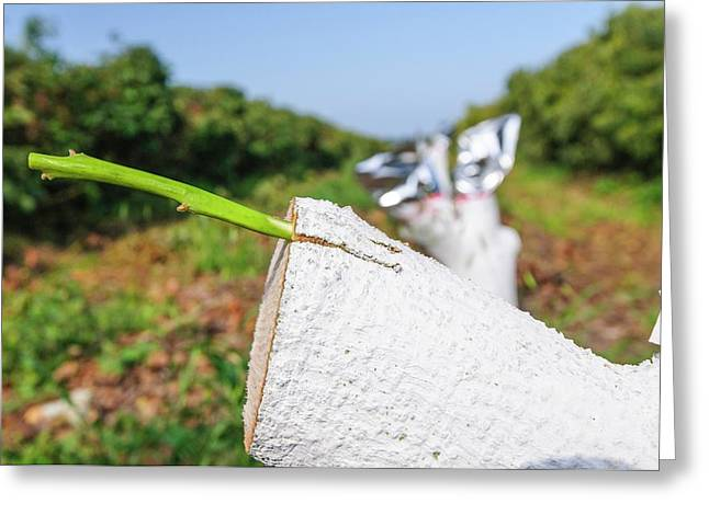 Grafting In An Avocado Plantation Greeting Card by Photostock-israel