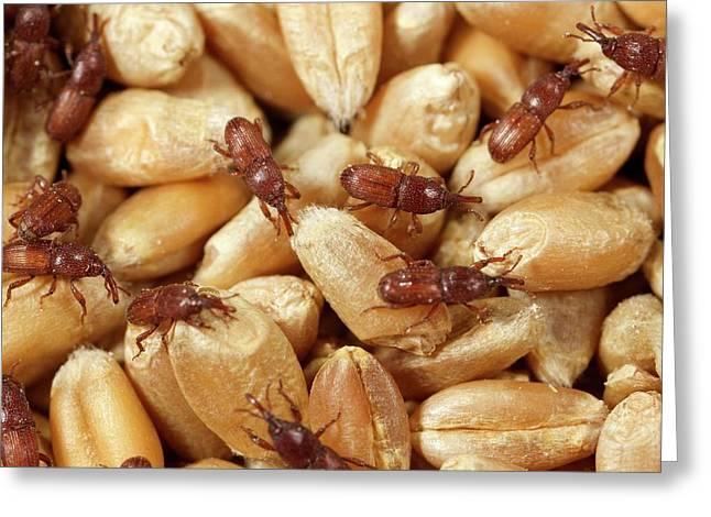 Grain Weevil Greeting Card by Sinclair Stammers