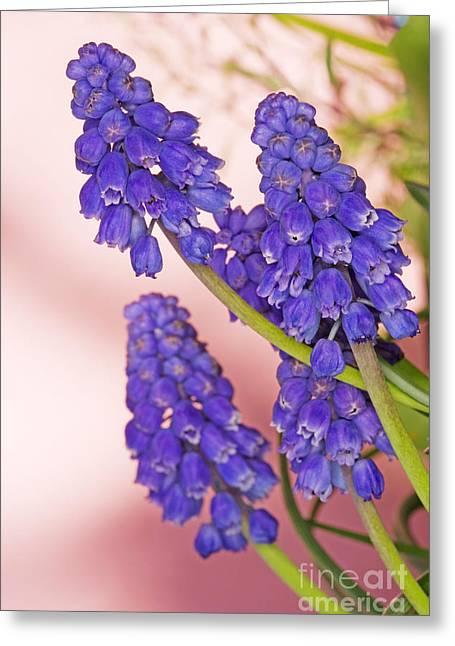 Grape Hyacinth Muscari Armeniacum Greeting Card