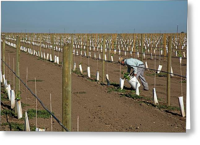 Grape Vines Being Tended In Vineyard Greeting Card by Jim West