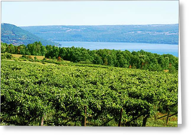 Grape Vineyards In Finger Lake Region Greeting Card