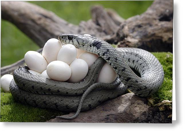 Grass Snake With Eggs Greeting Card by M. Watson