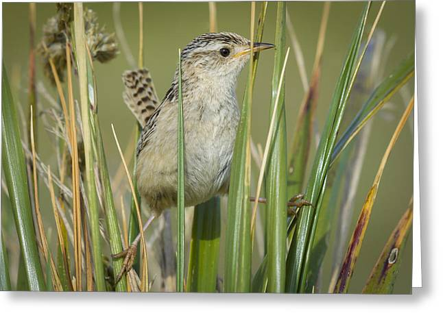 Grass Wren Greeting Card by John Shaw