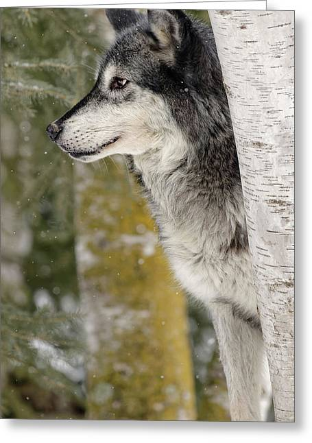 Gray Wolf In Winter, Canis Lupus Greeting Card