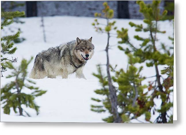 Gray Wolf Greeting Card by Ken Archer