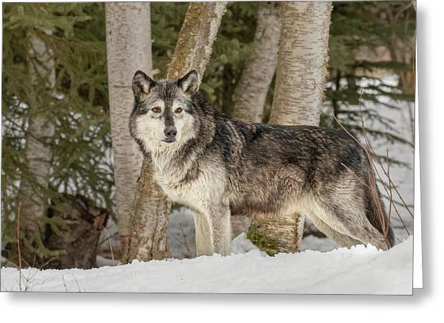 Gray Wolf, Montana Greeting Card