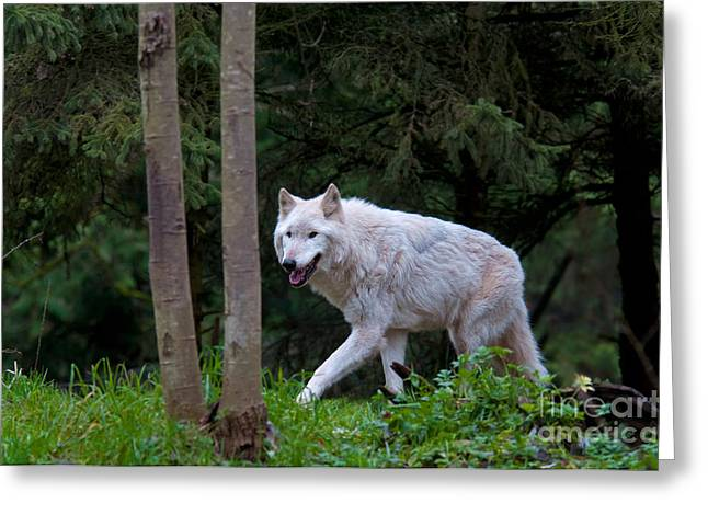 Gray Wolf White Morph Greeting Card by Mark Newman