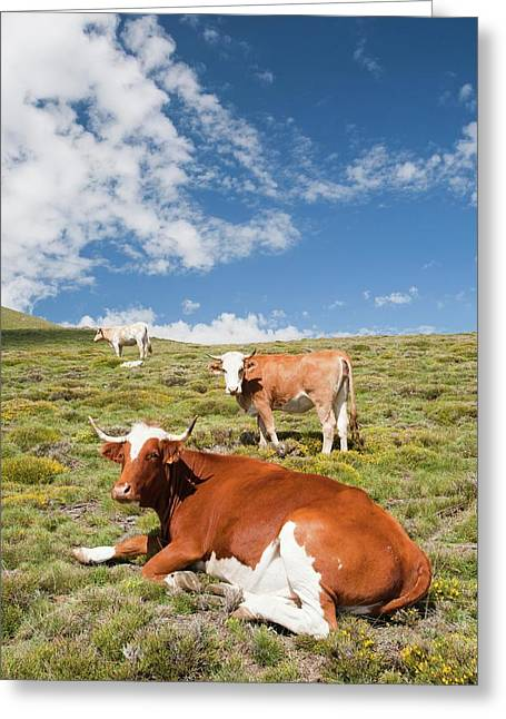 Grazing Cows Greeting Card by Ashley Cooper
