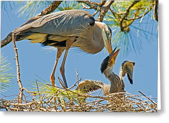 Great Blue Heron Adult Feeding Nestling Greeting Card by Millard H. Sharp