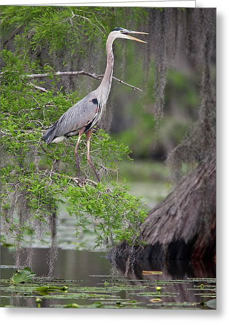 Great Blue Heron (ardea Herodias Greeting Card