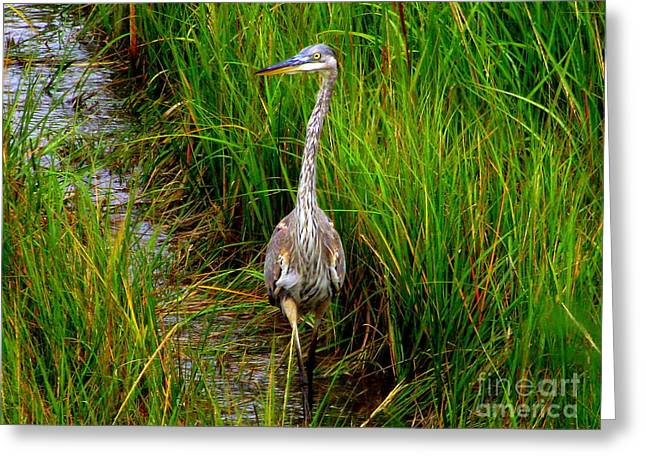 Great Blue Heron Greeting Card by CapeScapes Fine Art Photography