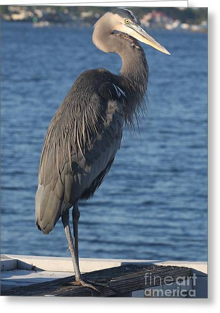Great Blue Heron  Greeting Card by Christiane Schulze Art And Photography