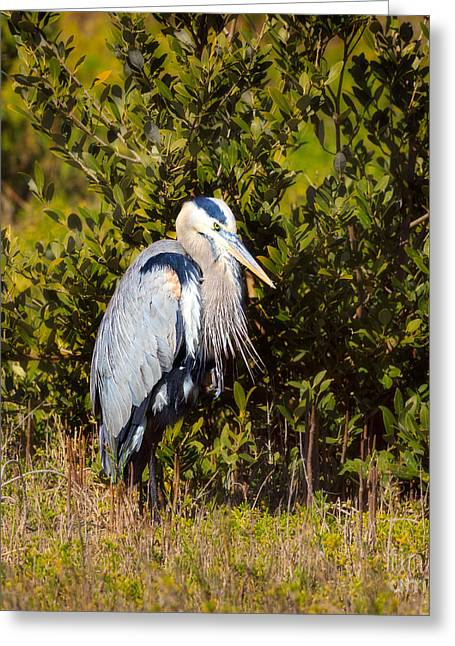 Great Blue Heron Greeting Card by Louise Heusinkveld