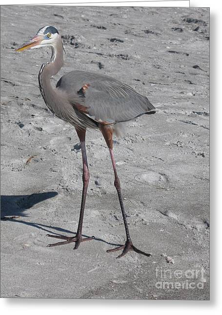 Great Blue Heron On The Beach Greeting Card by Christiane Schulze Art And Photography