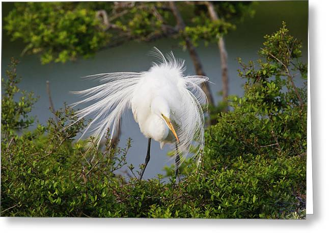 Great Egret (ardea Alba Greeting Card by Larry Ditto