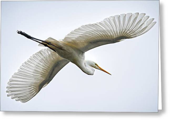 Great Egret Greeting Card by Brad Grove
