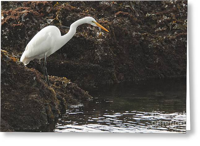 Great Egret Greeting Card by Dan Suzio