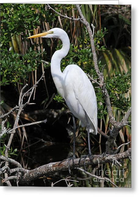 Great Egret Perched In Fallen Tree Greeting Card