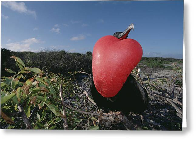 Great Frigatebird Male In Courtship Greeting Card by Tui De Roy